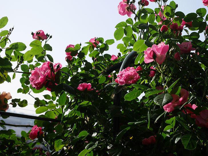 アンジェラ(ツルバラ)の花が増えてきた。2020年-3.jpg
