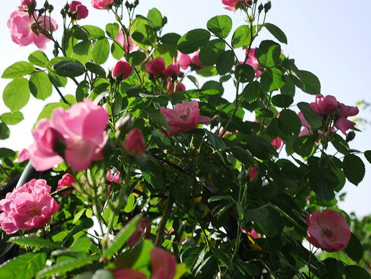 アンジェラ(ツルバラ)の花が増えてきた。2020年-4.jpg