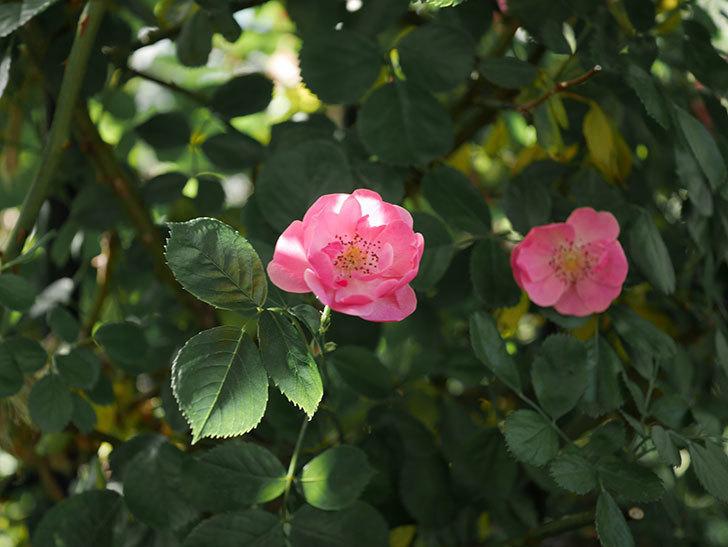 アンジェラ(ツルバラ)の花が増えてきた。2020年-6.jpg