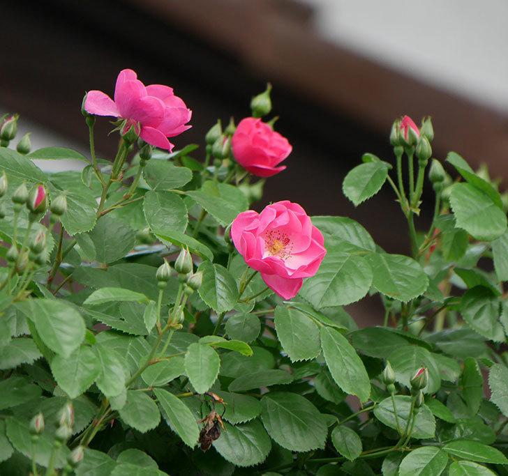 アンジェラ(ツルバラ)の花が増えて来た。2019年-1.jpg