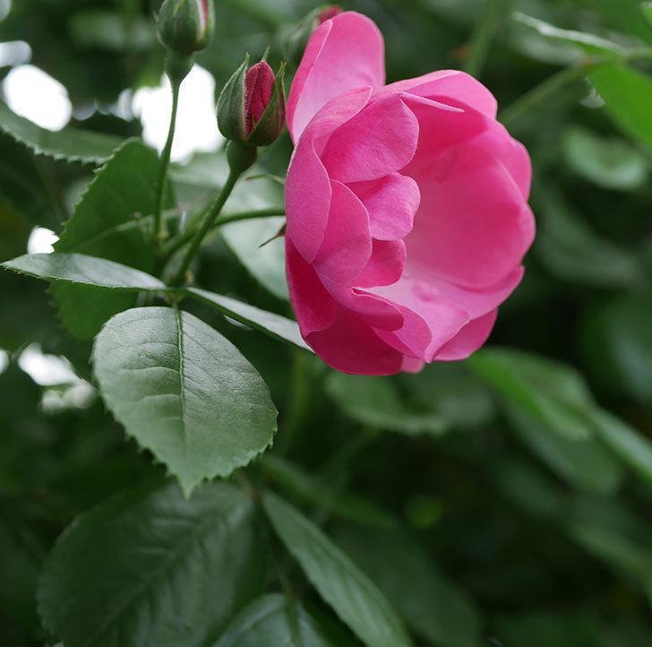 アンジェラ(ツルバラ)の花が増えて来た。2019年-11.jpg