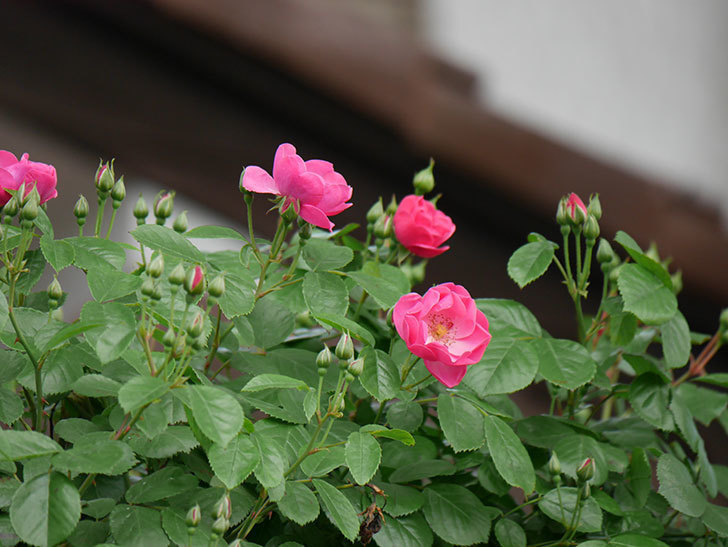 アンジェラ(ツルバラ)の花が増えて来た。2019年-2.jpg