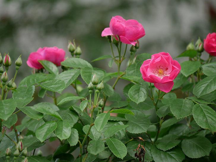 アンジェラ(ツルバラ)の花が増えて来た。2019年-4.jpg