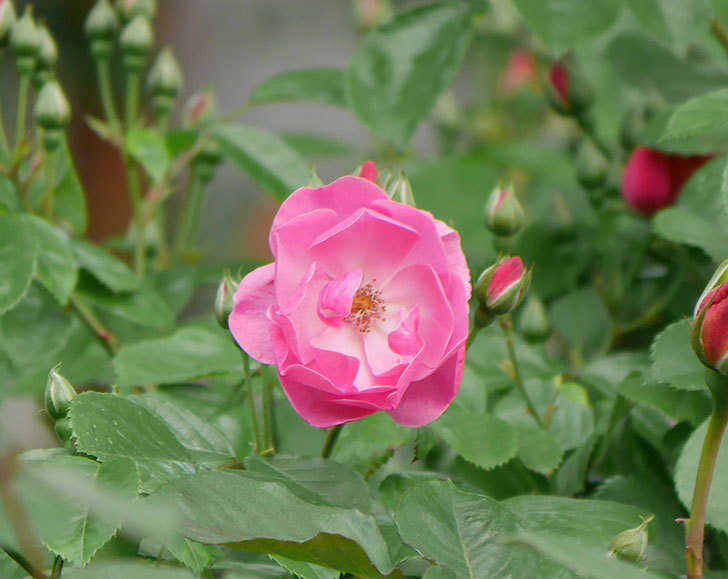 アンジェラ(ツルバラ)の花が増えて来た。2019年-6.jpg