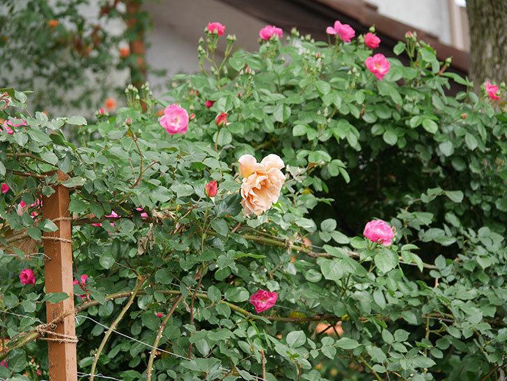 アンジェラ(ツルバラ)の花が増えて来た。2019年-7.jpg