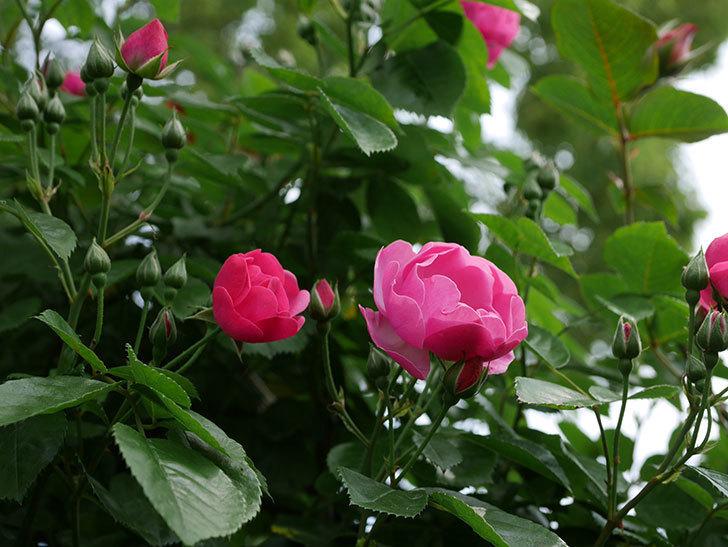 アンジェラ(ツルバラ)の花が増えて来た。2019年-8.jpg