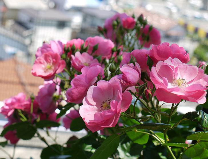 アンジェラ(ツルバラ)の花が増えて良い感じになってきた。2016年-1.jpg