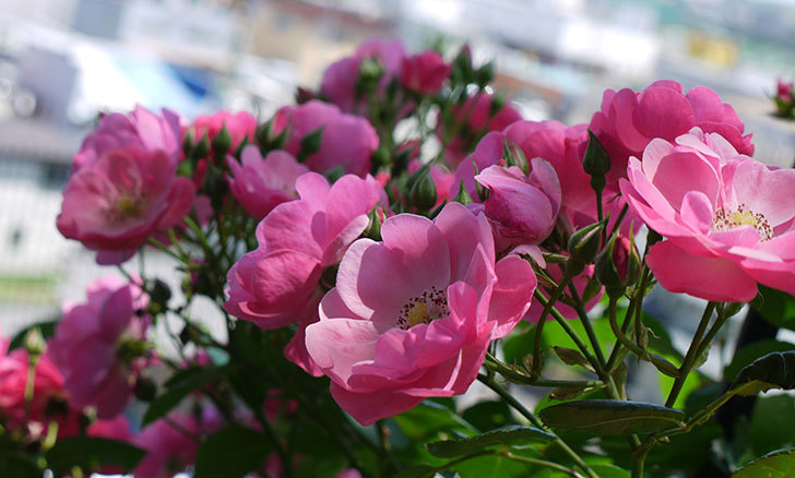 アンジェラ(ツルバラ)の花が増えて良い感じになってきた。2016年-2.jpg