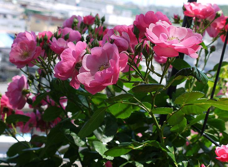 アンジェラ(ツルバラ)の花が増えて良い感じになってきた。2016年-3.jpg