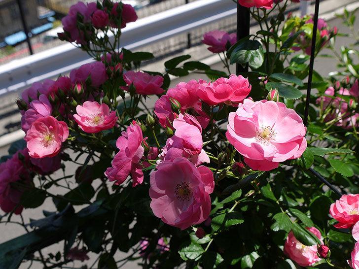 アンジェラ(ツルバラ)の花が増えて良い感じになってきた。2016年-4.jpg