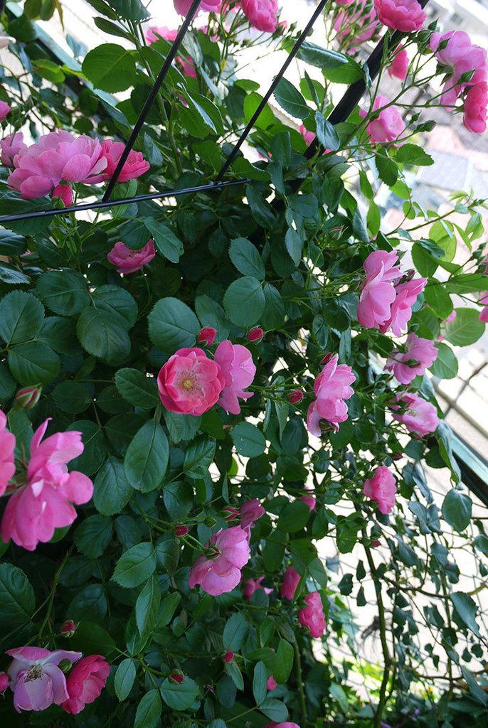 アンジェラ(ツルバラ)の花が増えて良い感じになってきた。2016年-6.jpg