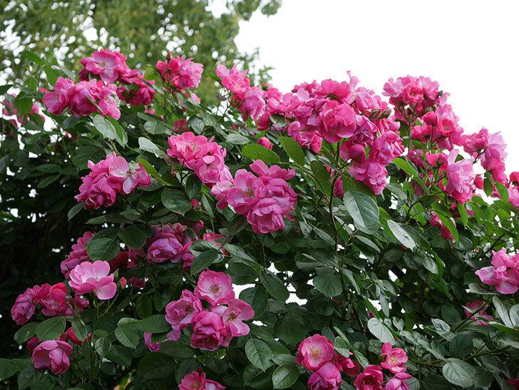 アンジェラ(ツルバラ)の花が満開になった。2019年-1.jpg