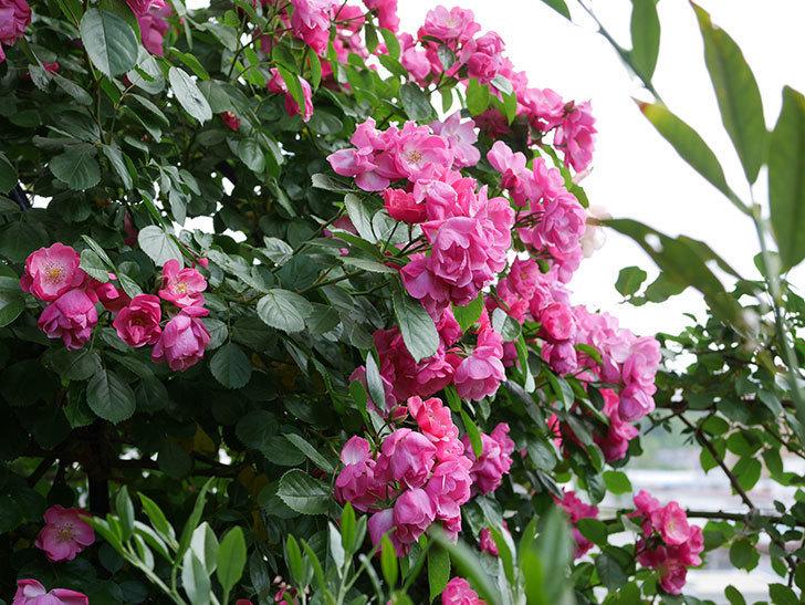 アンジェラ(ツルバラ)の花が満開になった。2019年-2.jpg