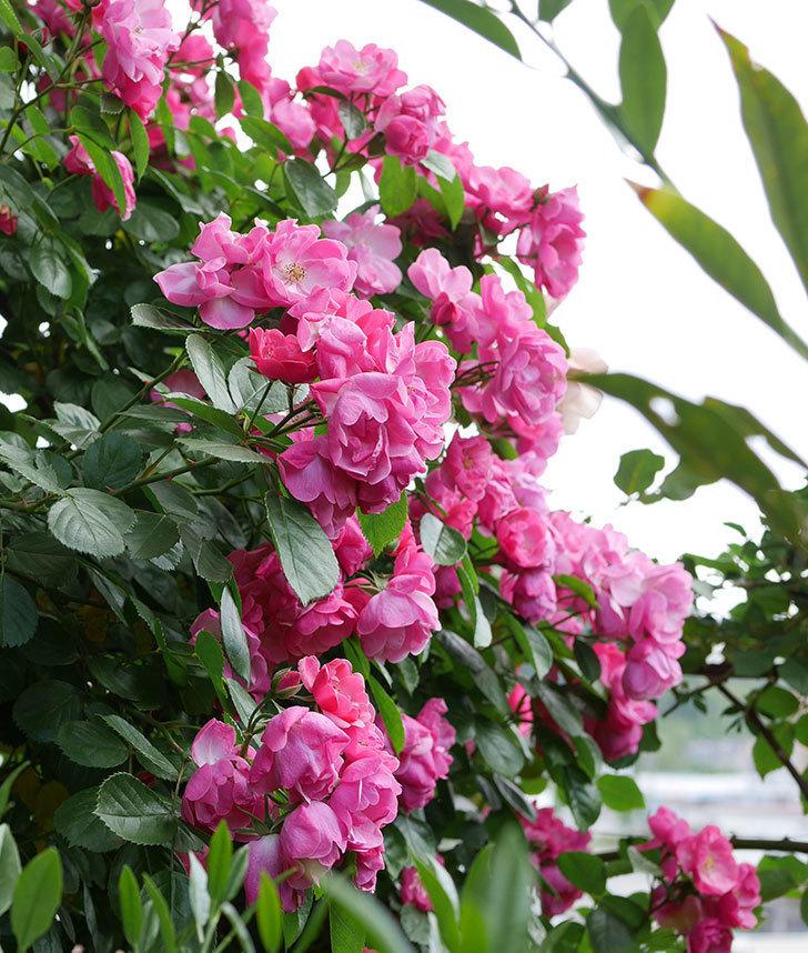 アンジェラ(ツルバラ)の花が満開になった。2019年-3.jpg