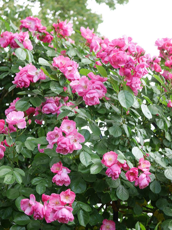 アンジェラ(ツルバラ)の花が満開になった。2019年-4.jpg