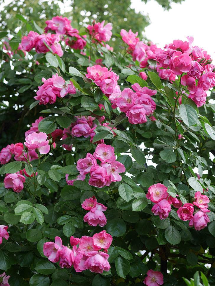 アンジェラ(ツルバラ)の花が満開になった。2019年-5.jpg