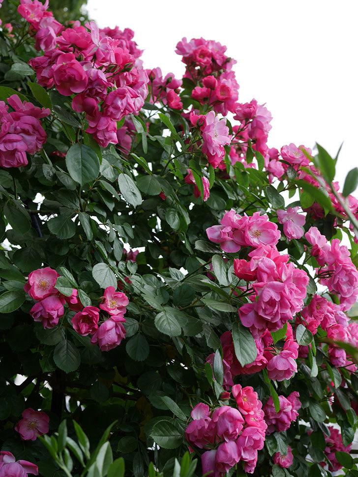 アンジェラ(ツルバラ)の花が満開になった。2019年-6.jpg