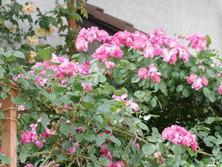アンジェラ(ツルバラ)の花が満開になった。2019年-7.jpg