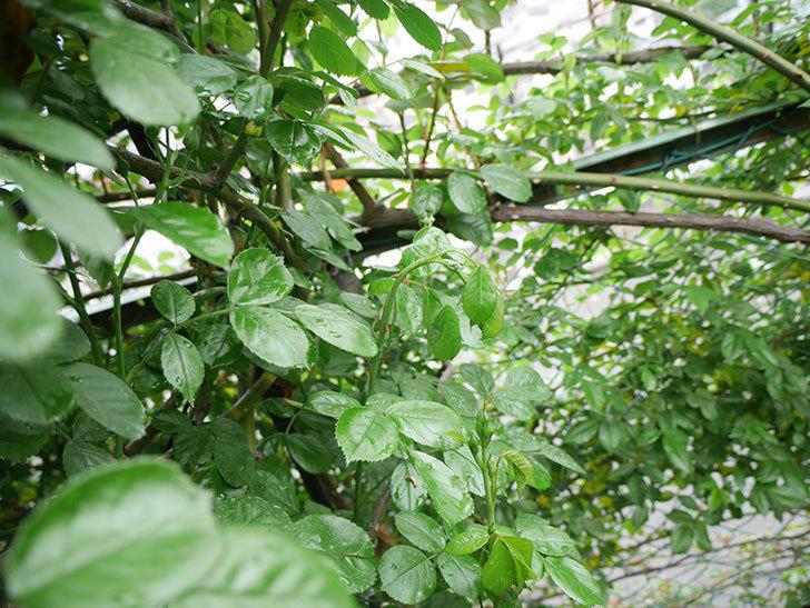アンジェラ(ツルバラ)の蕾付きの新枝が1本またバラクキバチにやられて萎れた。2019年-2.jpg