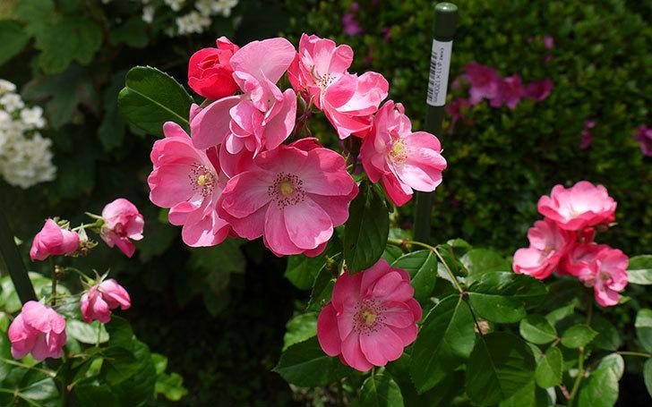 アンジェラ(バラ)が綺麗に咲いた。2015年-1.jpg