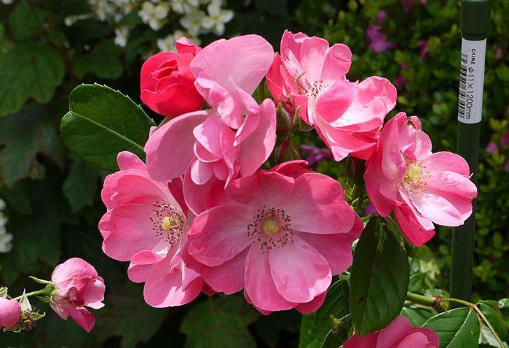 アンジェラ(バラ)が綺麗に咲いた。2015年-3.jpg