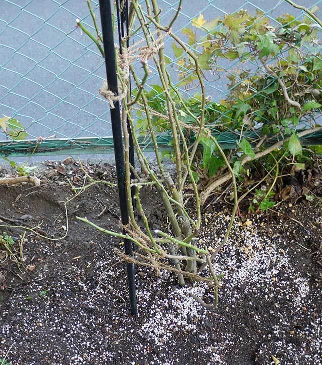 アンジェラ(バラ)を地植えした。2016年-1.jpg