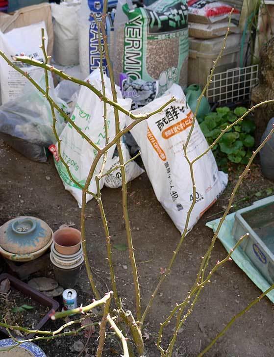 アンジェラ(バラ)を地植えした。2016年-10.jpg