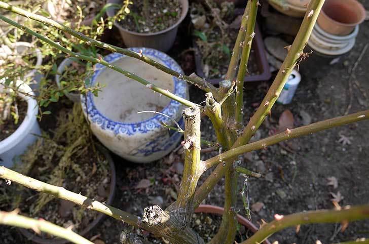 アンジェラ(バラ)を地植えした。2016年-11.jpg