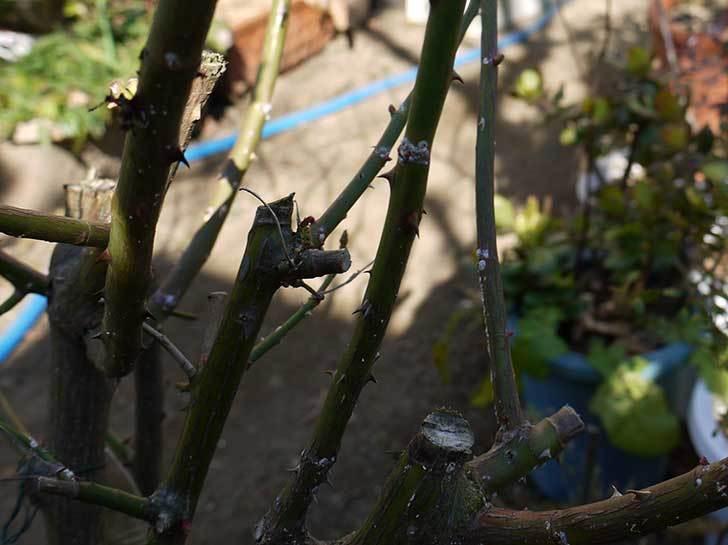 アンジェラ(バラ)を地植えした。2016年-13.jpg