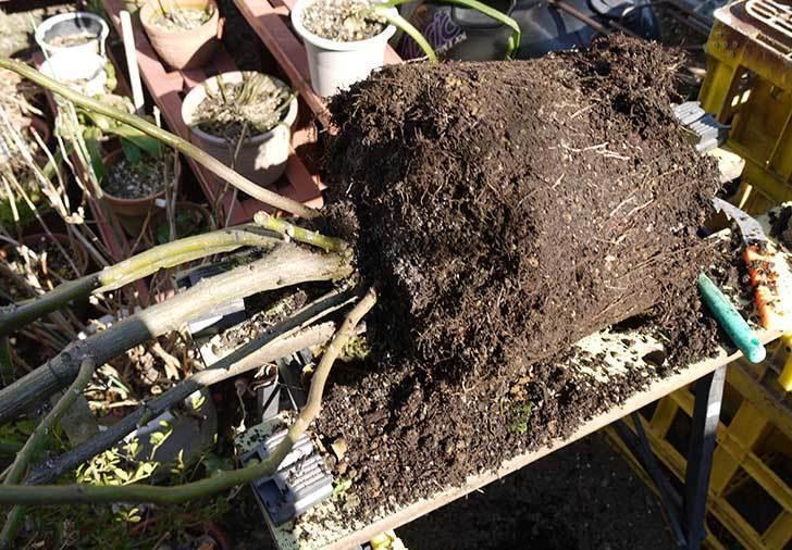 アンジェラ(バラ)を地植えした。2016年-17.jpg