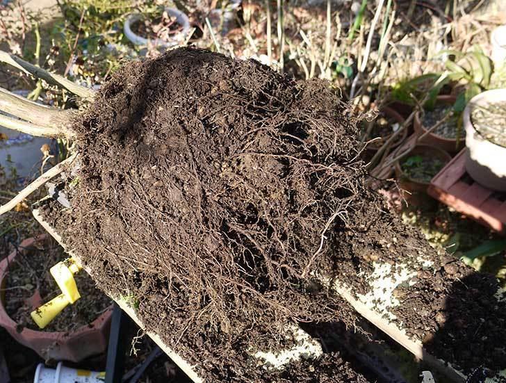 アンジェラ(バラ)を地植えした。2016年-19.jpg