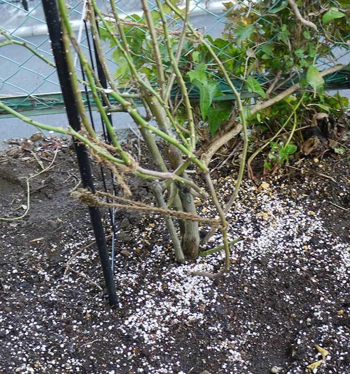 アンジェラ(バラ)を地植えした。2016年-25.jpg