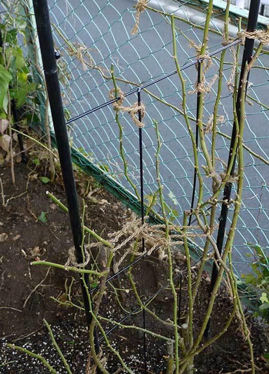 アンジェラ(バラ)を地植えした。2016年-27.jpg