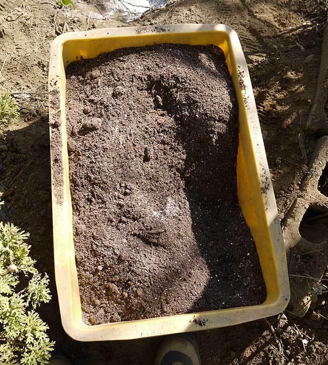 アンジェラ(バラ)を地植えした。2016年-5.jpg