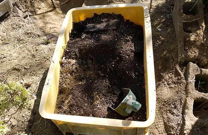 アンジェラ(バラ)を地植えした。2016年-8.jpg