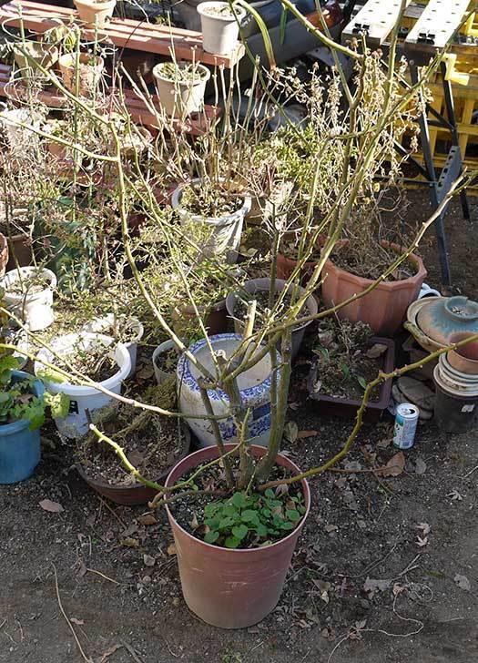 アンジェラ(バラ)を地植えした。2016年-9.jpg