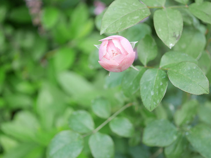 アントニオ・ガウディ(Antonio Gaudi)の2番花が咲いた。半ツルバラ。2020年-001.jpg