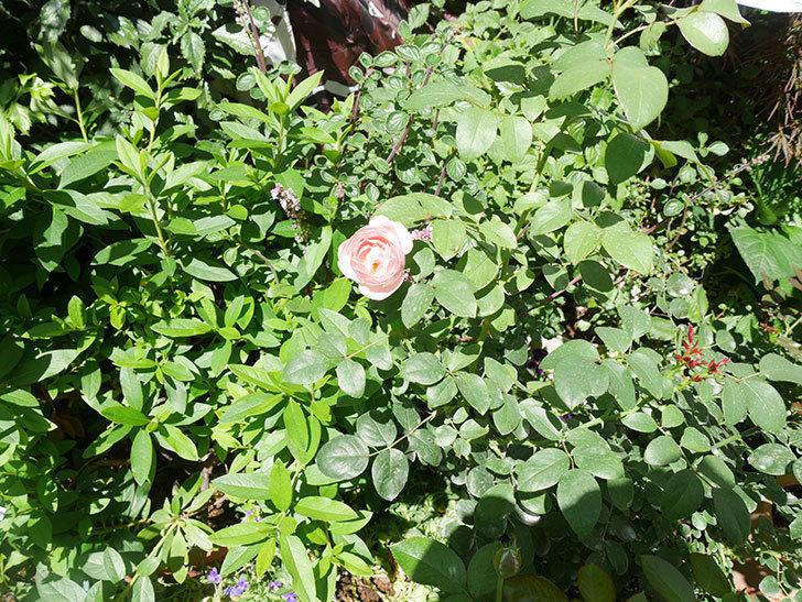 アントニオ・ガウディ(Antonio Gaudi)の2番花が咲いた。半ツルバラ。2020年-003.jpg