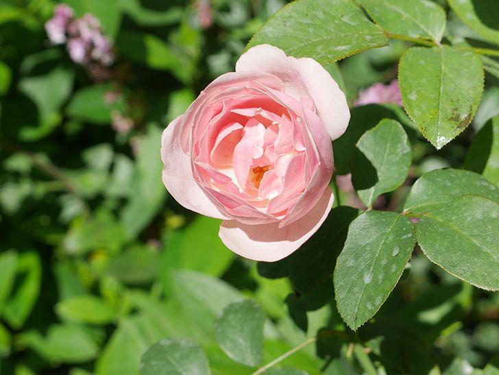 アントニオ・ガウディ(Antonio Gaudi)の2番花が咲いた。半ツルバラ。2020年-004.jpg