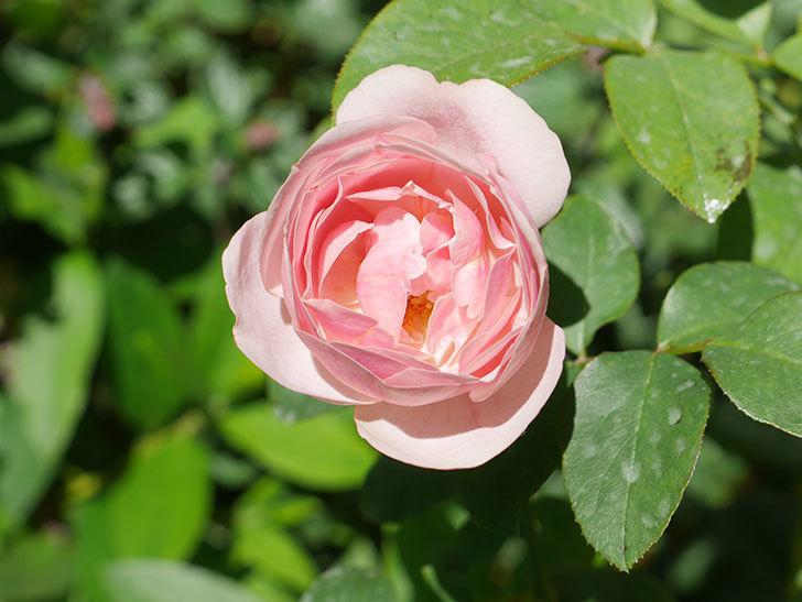 アントニオ・ガウディ(Antonio Gaudi)の2番花が咲いた。半ツルバラ。2020年-006.jpg