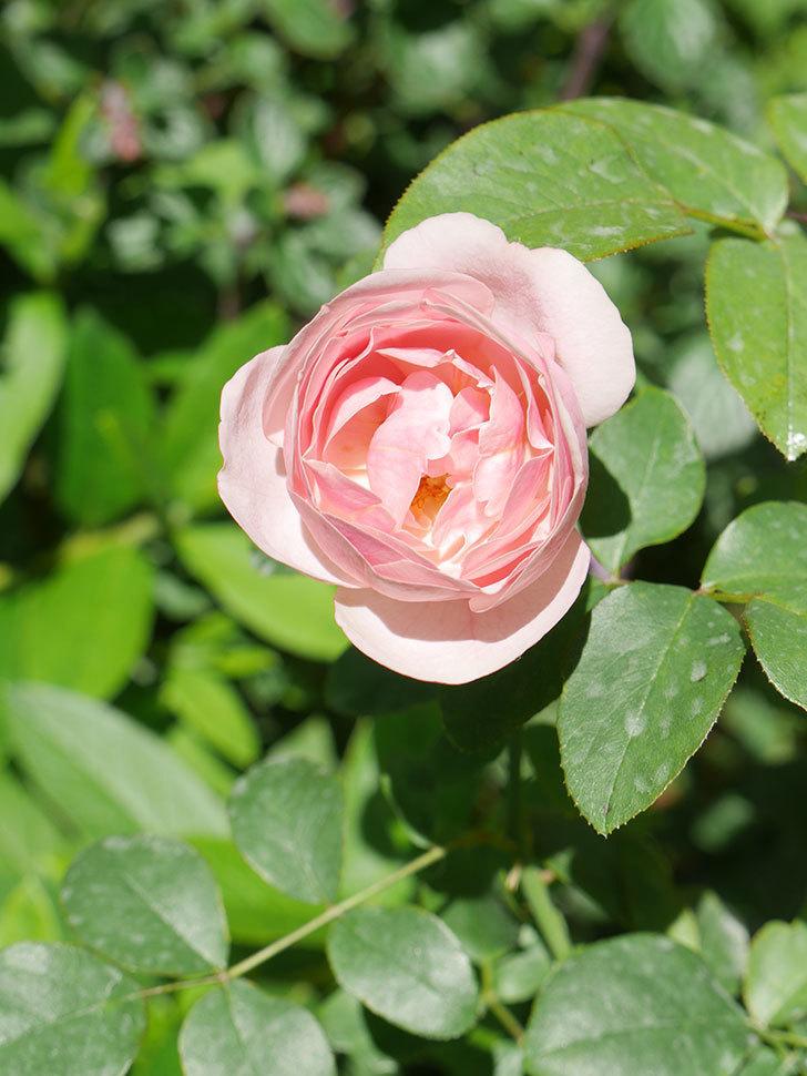 アントニオ・ガウディ(Antonio Gaudi)の2番花が咲いた。半ツルバラ。2020年-007.jpg