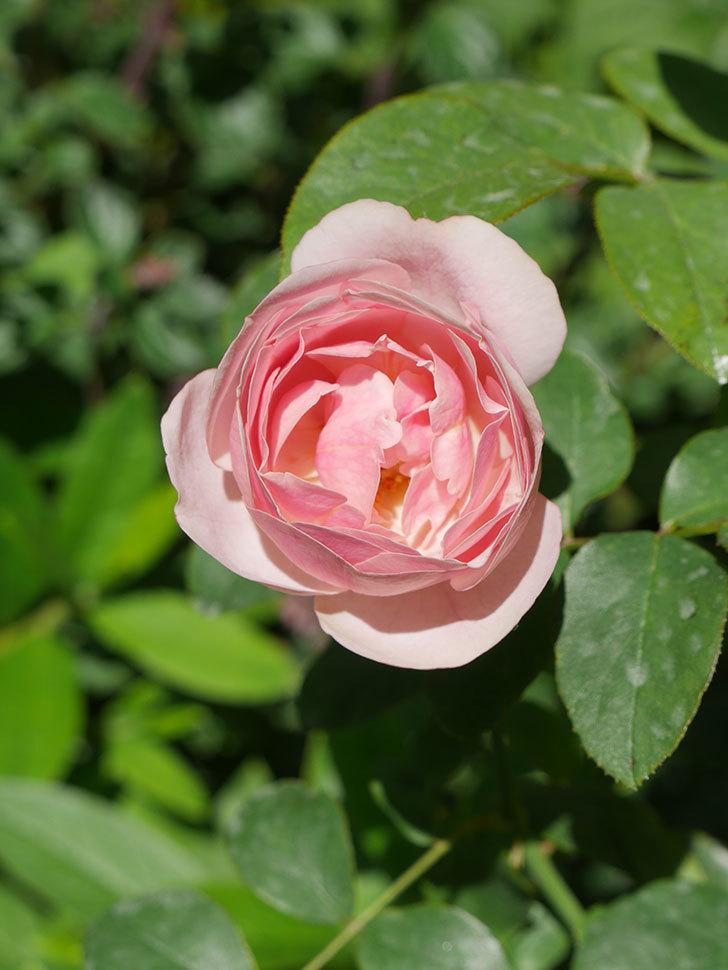 アントニオ・ガウディ(Antonio Gaudi)の2番花が咲いた。半ツルバラ。2020年-009.jpg