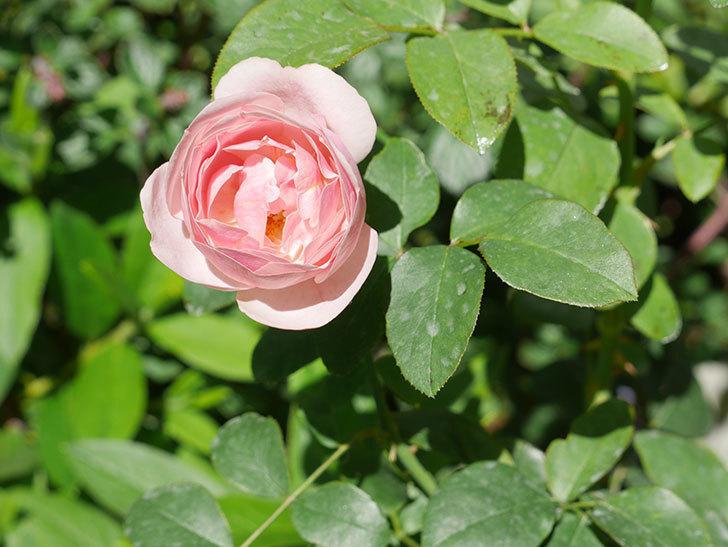 アントニオ・ガウディ(Antonio Gaudi)の2番花が咲いた。半ツルバラ。2020年-010.jpg