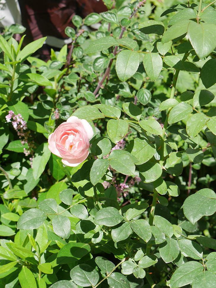 アントニオ・ガウディ(Antonio Gaudi)の2番花が咲いた。半ツルバラ。2020年-011.jpg