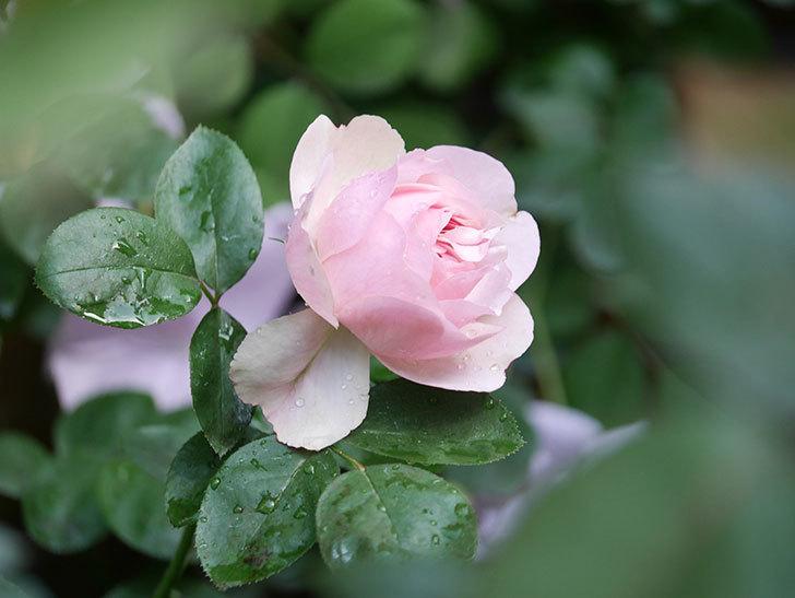 アントニオ・ガウディ(Antonio Gaudi)の花が咲いた。半ツルバラ。2021年-002.jpg