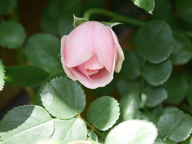アントニオ・ガウディ(Antonio Gaudi)の花が咲いた。半ツルバラ。2021年-022.jpg