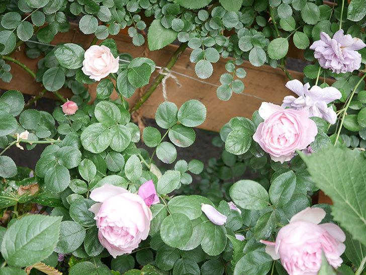 アントニオ・ガウディ(Antonio Gaudi)の花が増えてきた。半ツルバラ。2021年-022.jpg