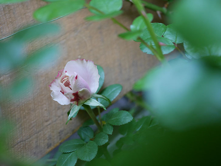 アントニオ・ガウディ(Antonio Gaudi)の花が少し咲いた。半ツルバラ。2021年-001.jpg