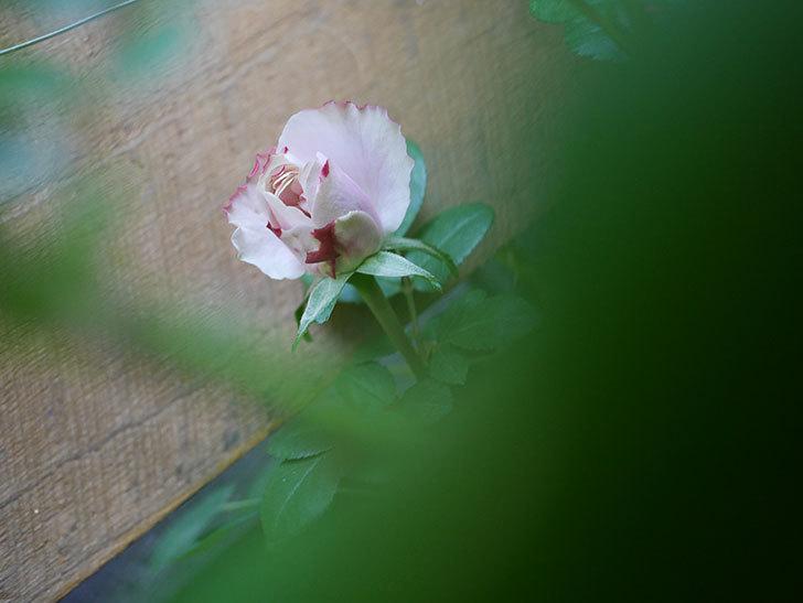 アントニオ・ガウディ(Antonio Gaudi)の花が少し咲いた。半ツルバラ。2021年-003.jpg