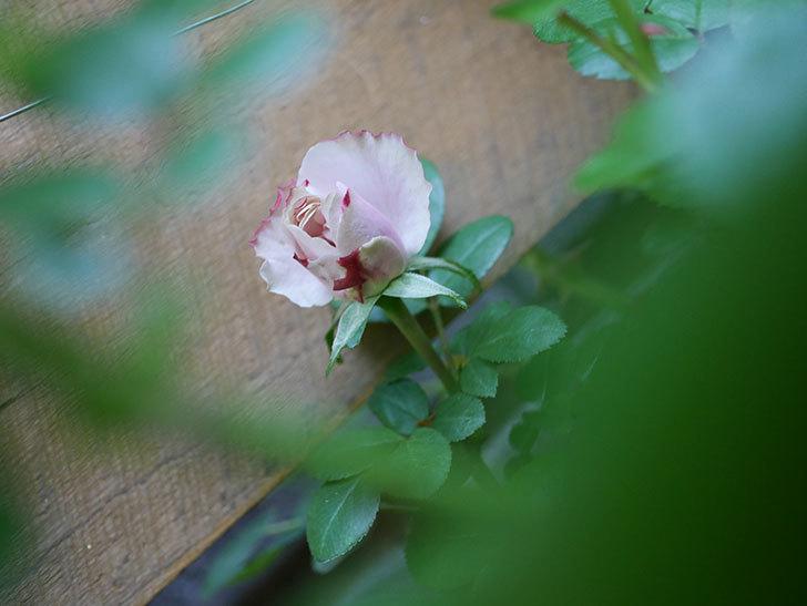 アントニオ・ガウディ(Antonio Gaudi)の花が少し咲いた。半ツルバラ。2021年-004.jpg